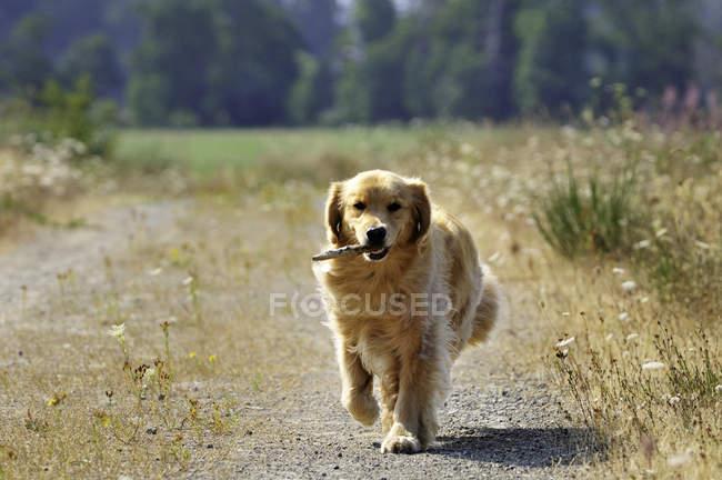 Chien Golden retriever, récupérer le bâton sur route de campagne. — Photo de stock