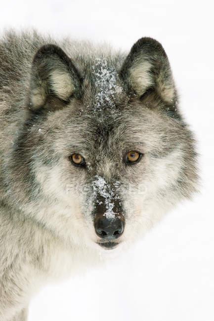 Взрослые женщины волка на белом снежном фоне, портрет. — стоковое фото