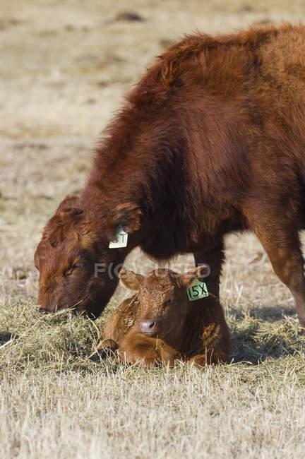 Rote agus-kuh mit kalb auf der weide in alberta, kanada. — Stockfoto