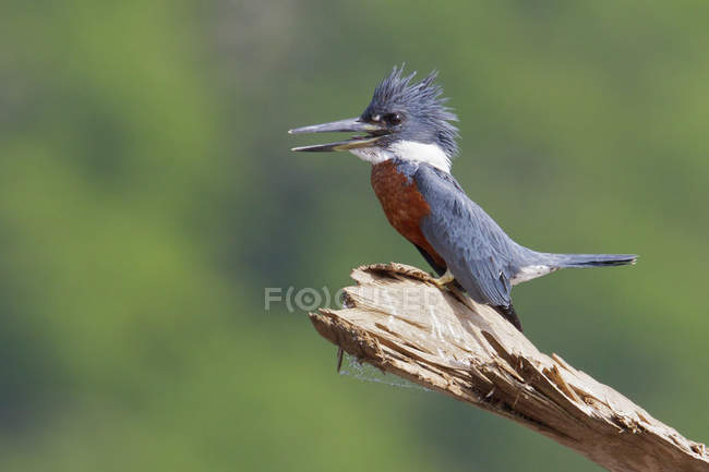 Ringed kingfisher bird perched on dry wood in Costa Rica, Central America. — стоковое фото