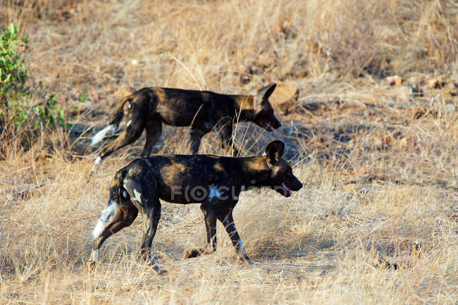 African wild dogs hunting in Samburu National Park, Kenya, East Africa — Stock Photo