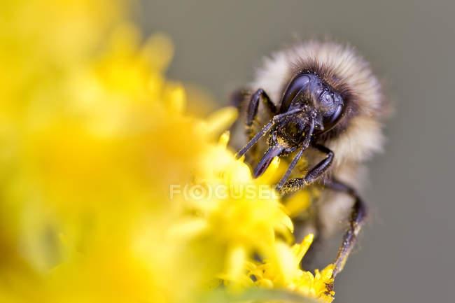 Bourdon, recueillir le nectar de fleur jaune, gros plan — Photo de stock