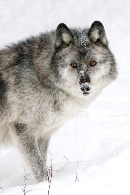 Взрослые женщины волка на белом снежном фоне. — стоковое фото