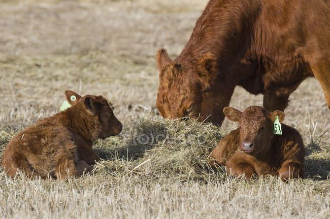 Червоні корови Ангус випасу з телят в цей час ranchland південно-західних Альберта, Канада. — стокове фото