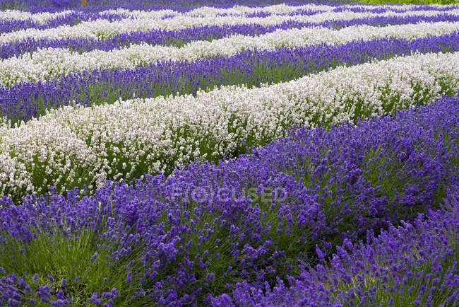 Cropped view of lavender farm plants — Stock Photo
