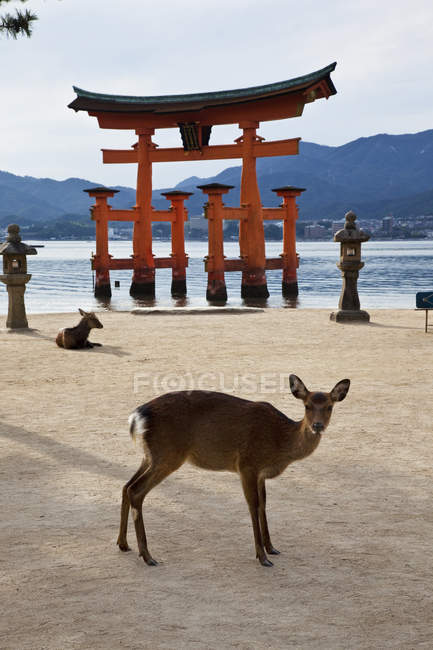Porte torii Miyajima et cerf sika au sanctuaire Itsukushima au Japon . — Photo de stock