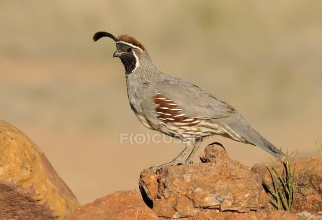 Gambels in piedi sulle rocce aride di quaglia. — Foto stock