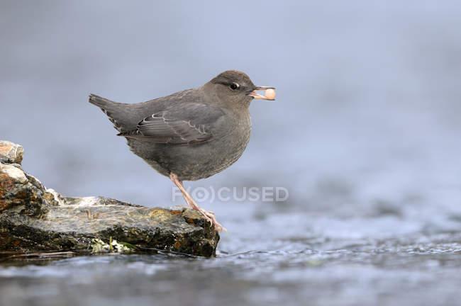 Osa americana posada en el borde de la corriente con huevo de salmón en el pico . - foto de stock