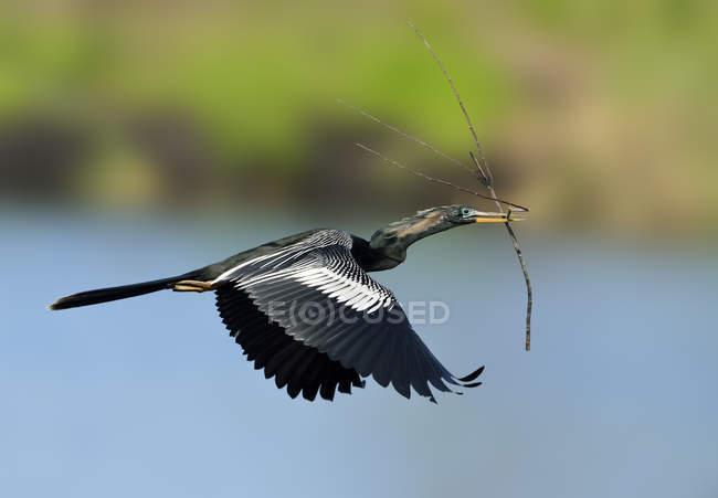 Uccello acquatico Anhinga trasporto ramoscello nel becco mentre volava sopra il lago — Foto stock