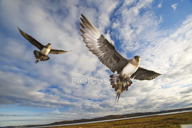 Паразитарних jaegers, захищаючи гніздування в польоті, Нунавут, Канада — стокове фото