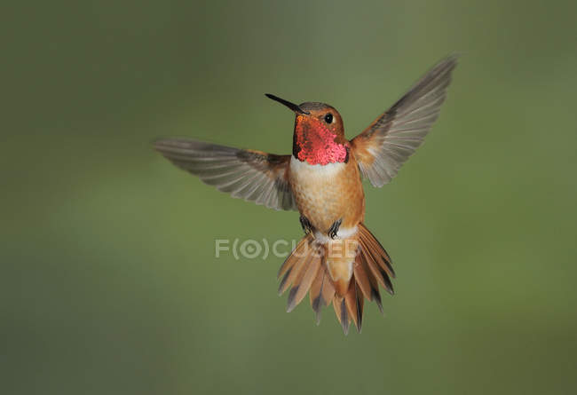 Мужчины Rufous колибри в полете, макро. — стоковое фото