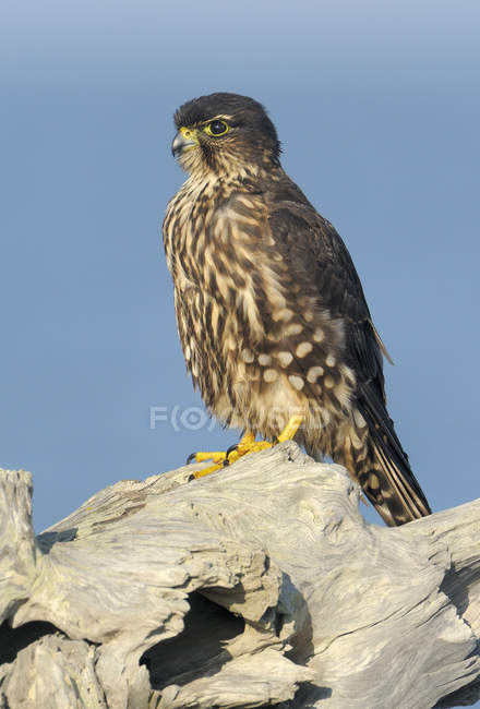 Falco di Merlin arroccato su driftwood contro cielo blu — Foto stock