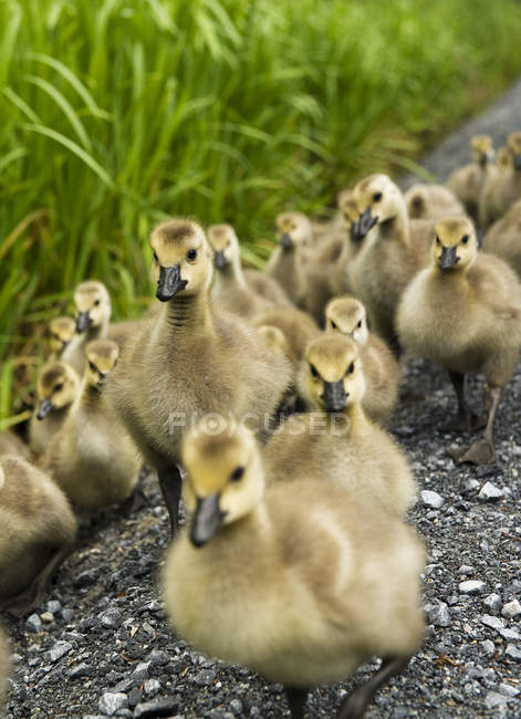 Large group of goslings on lake shore, close-up — Foto stock