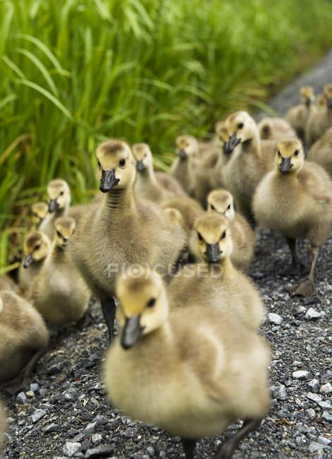 Grande gruppo di goslings sulla riva del lago, primo piano — Foto stock
