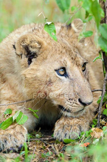 Nahaufnahme von Afrika LÖWENJUNGES in Masai Mara Reserve, Kenia, Ostafrika — Stockfoto