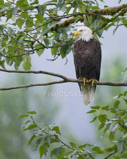 Облыселый орел сидел на ветке дерева и глядя. — стоковое фото