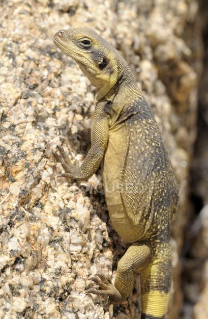 Common chuckwalla lizard at Joshua Tree Park, California, USA — Stock Photo