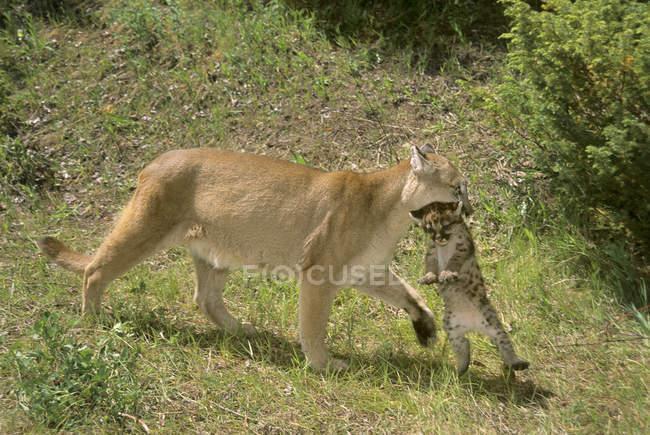 Weibliche Kätzchen auf grüner Wiese mit cougar. — Stockfoto