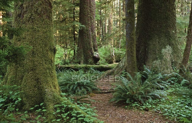 Sitka spruces growing in Stoltman grove in Carmanah Valley, Vancouver island, British Columbia, Canada. — Stock Photo
