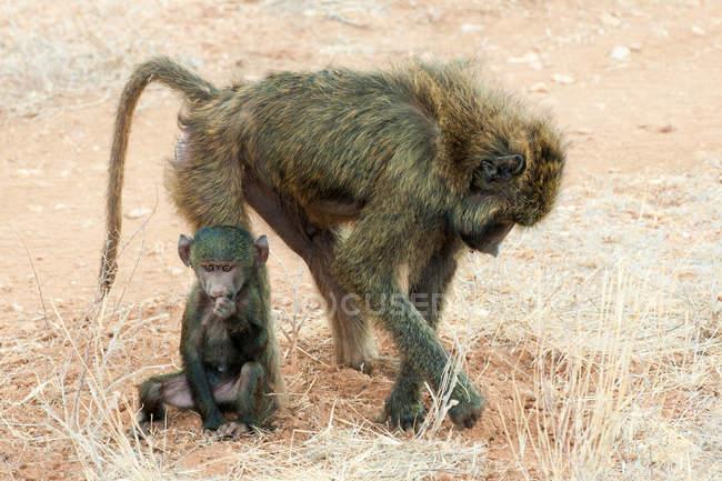 Olivenpavian auf Nahrungssuche mit neugeborenem Tierbaby in Kenia, Ostafrika — Stockfoto