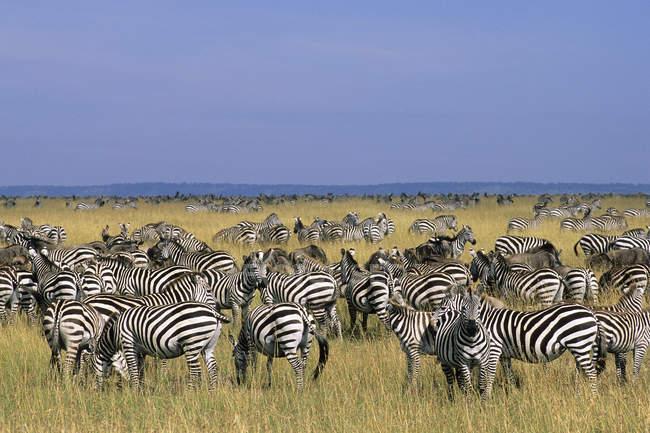 Herd of plains zebras in migration on grassland of Serengeti Plains, East Africa, Kenya — Stock Photo