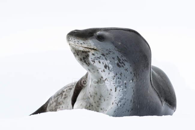 Foca leopardata adagiata sul pack ice, isola di Pleneau, penisola antartica, Antartide — Foto stock
