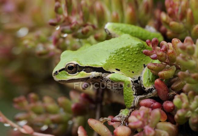 Primer plano de la rana arbórea verde del Pacífico posada sobre la planta . - foto de stock