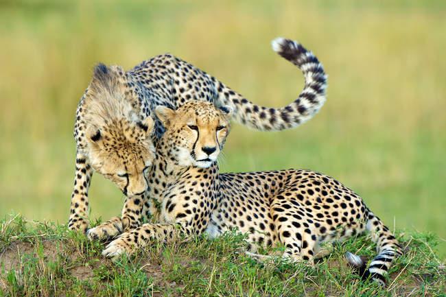 Два гепарды, опираясь на термитами курган в Масаи Мара резерва, Кения, Восточной Африке — стоковое фото