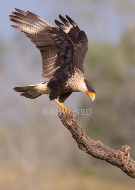 Caracara Crestado perchado en la rama seca de madera. - foto de stock