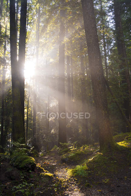Sunrays in forest of western hemlocks in Alice Lake Provincial Park, Vancouver, Canada — Stock Photo