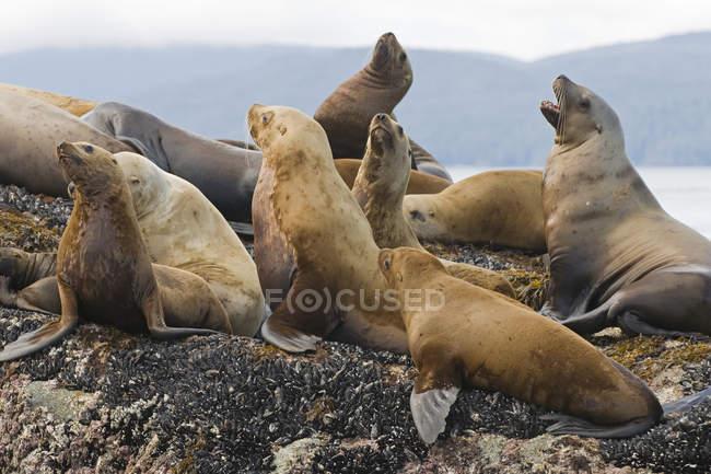 Колония морских львов, отдыхая на скалах, Gwaii Haanas, Haida Gwaii, Британская Колумбия, Канада — стоковое фото