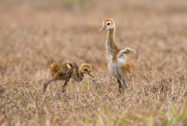 Sandhill crane chicks walking in meadow, close-up — Foto stock