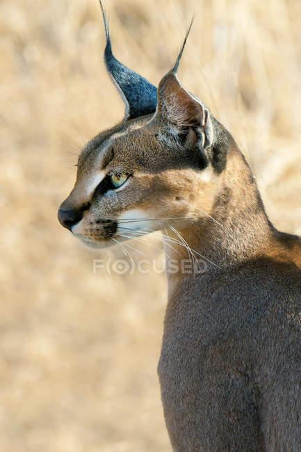 Оповіщати Каракал полювання у високій траві луг в Самбур Національний парк, Кенія, Східна Африка — стокове фото