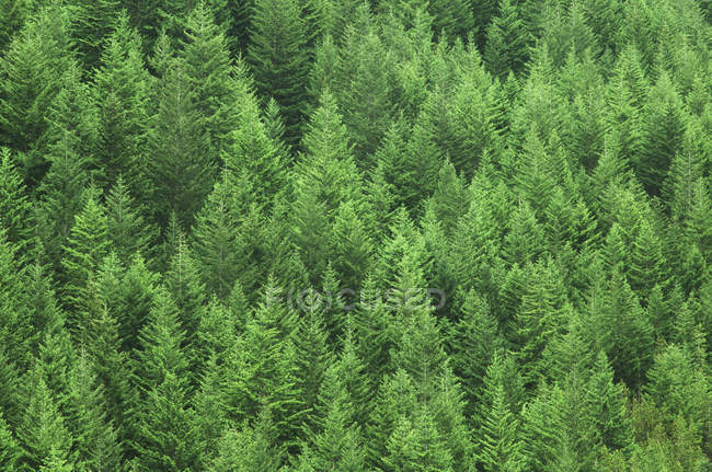 Reforested fir and hemlock trees on hillside, British Columbia, Canada. — Stock Photo