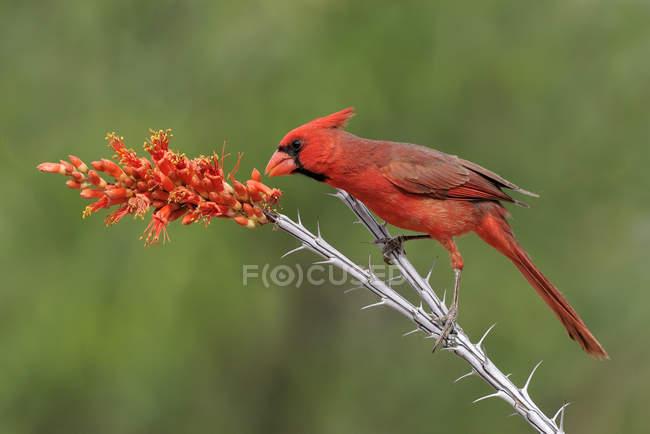 Північна кардинал, Підносячись на Ocotillo відділення. — стокове фото