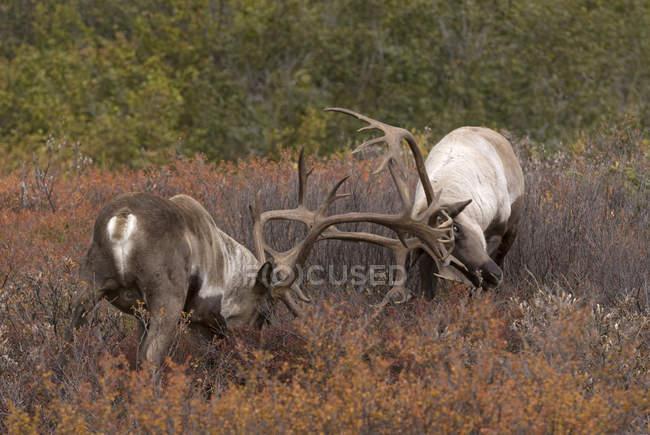 Tori caribù sterili che sparano nell'habitat della tundra del Denali National Park, Alaska, USA — Foto stock