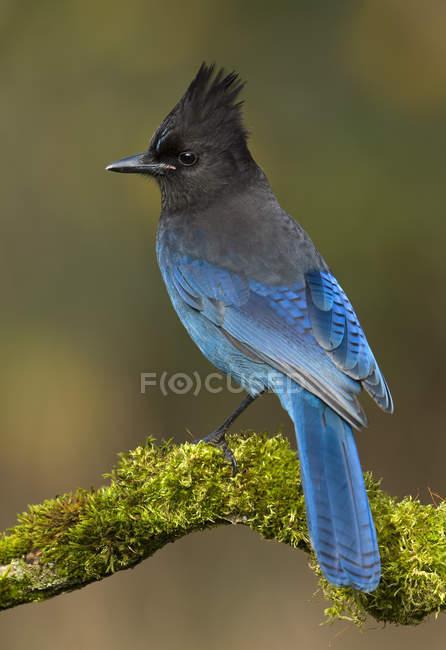 Синій пернаті чубата Блакитна Джей птах сідати на моховий філії, Закри. — стокове фото