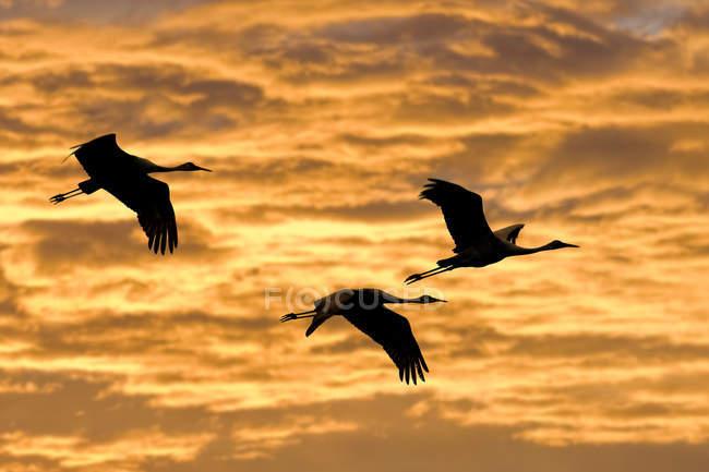 Sandhill cranes flying against scenic sky at sunset — Stock Photo