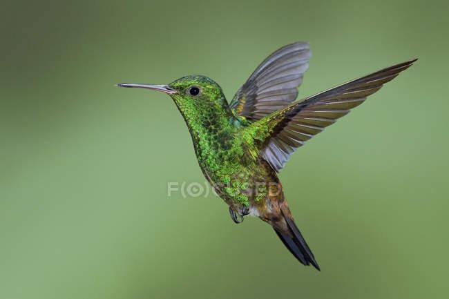 Cobre-rabadilla Colibrí volando en Trinidad y Tobago. - foto de stock