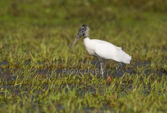 Cegonha de madeira em pé num prado verde Pantanal. — Fotografia de Stock