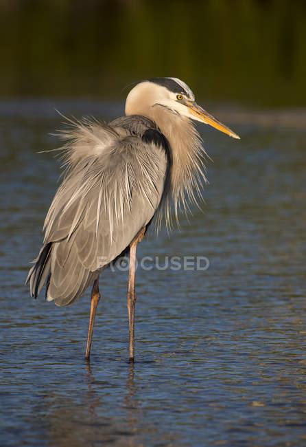 Great blue heron bird caccia in zona umida. — Foto stock