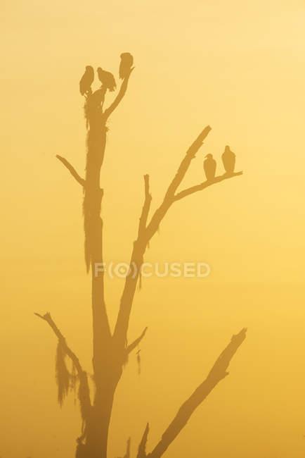 Siluette di avvoltoio appollaiato sull'albero nella penombra. — Foto stock