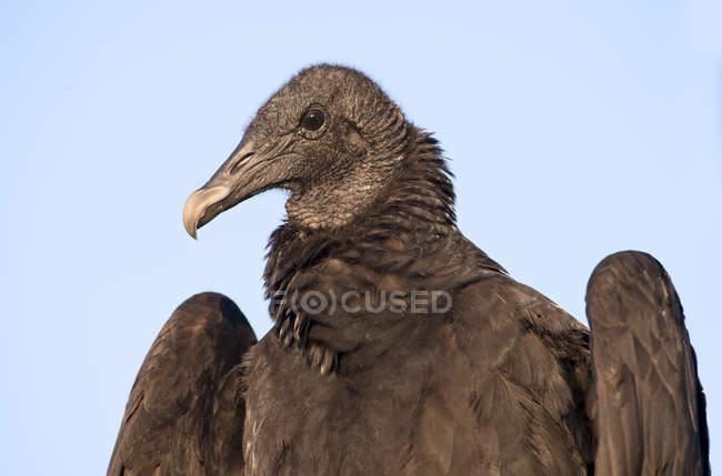 Ritratto dell'avvoltoio nero uccello contro il cielo blu. — Foto stock