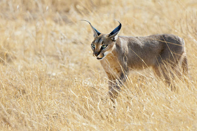 Caracal hunting in tall grass meadow in Samburu National Park, Kenya, East Africa — Stock Photo