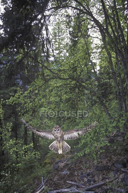 Північна плямистий Сова літати в лісі Британської Колумбії, Канада. — стокове фото