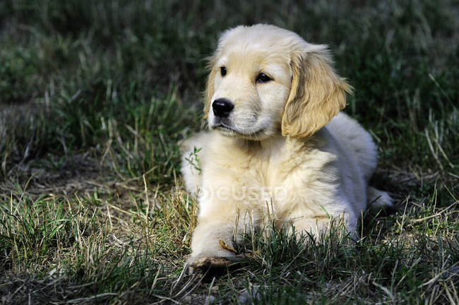 Chiot de race golden retriever au repos dans l'herbe. — Photo de stock