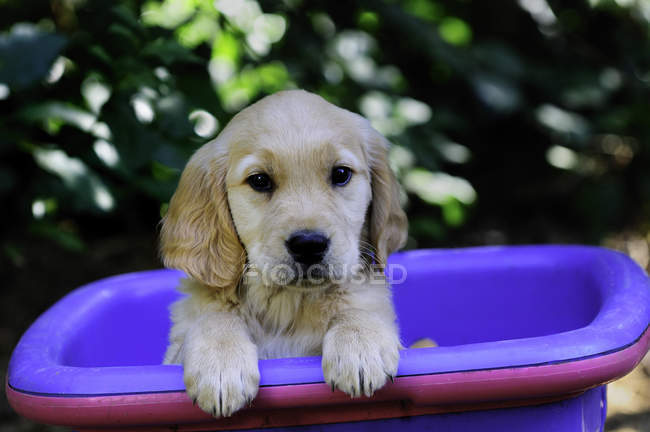 Moyenne de chiot pure race golden retriever au panier violet. — Photo de stock