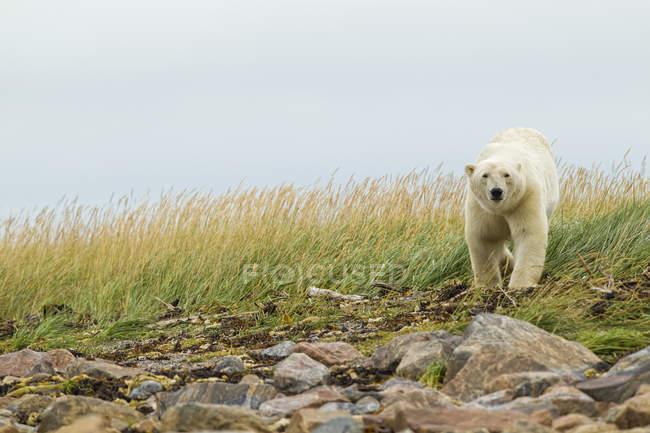 Orso polare che cammina sulla riva erbosa e rocciosa nella nebbia, Churchill, Manitoba, Canada — Foto stock
