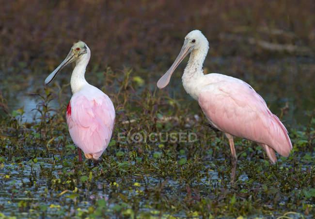 Due uccelli platalea ajaja in piedi in acqua della palude. — Foto stock