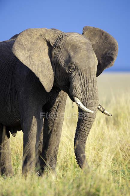 African elephant bull standing in meadow of Samburu National Park, Kenya, East Africa — Stock Photo